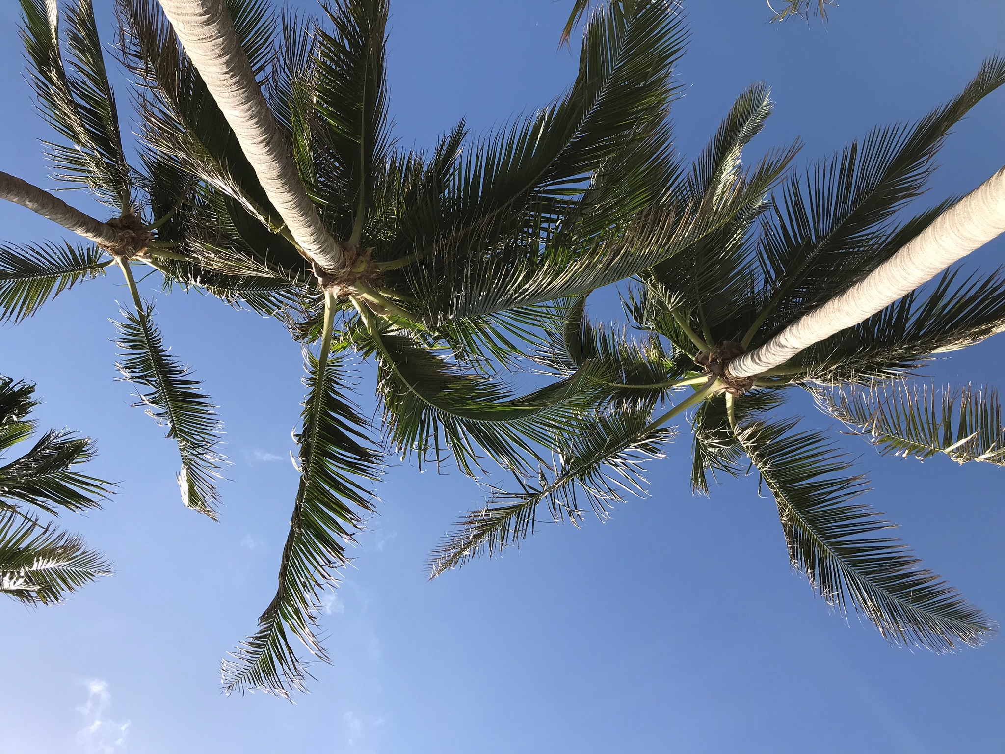 palm tree from below blue sky